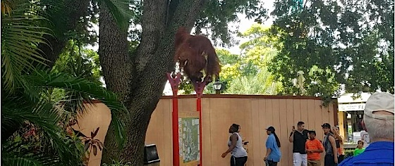 Busch Gardens Tampa land cleared after orangutan escape