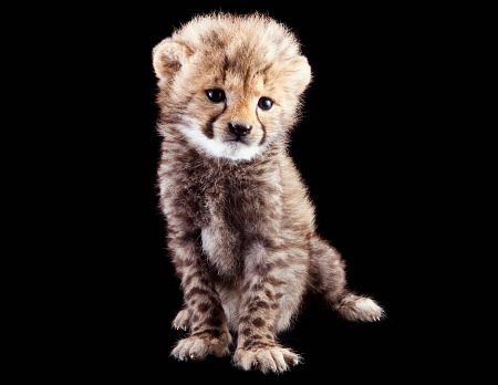 Baby cheetah at Busch Gardens Tampa