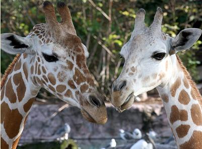 Giraffes at Busch Gardens Tampa