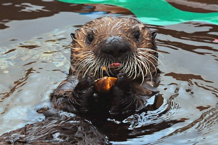 Rescued sea otter at SeaWorld in San Diego