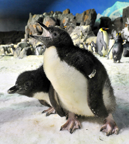 Penguin chicks, from SeaWorld San Diego