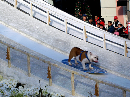 Tillman the Bulldog, snowboarding