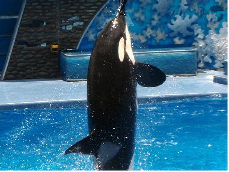 Orca at SeaWorld Orlando