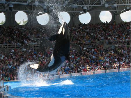 Shamu at SeaWorld Orlando